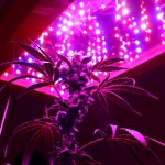 GROWING MARIJUANA WITH LED LIGHTS