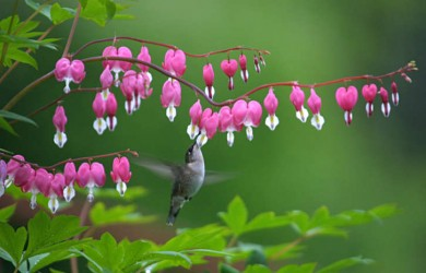 Tips for Growing and Caring for Bleeding Hearts