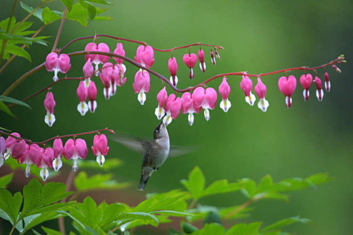 Tips For Growing And Caring Bleeding Hearts