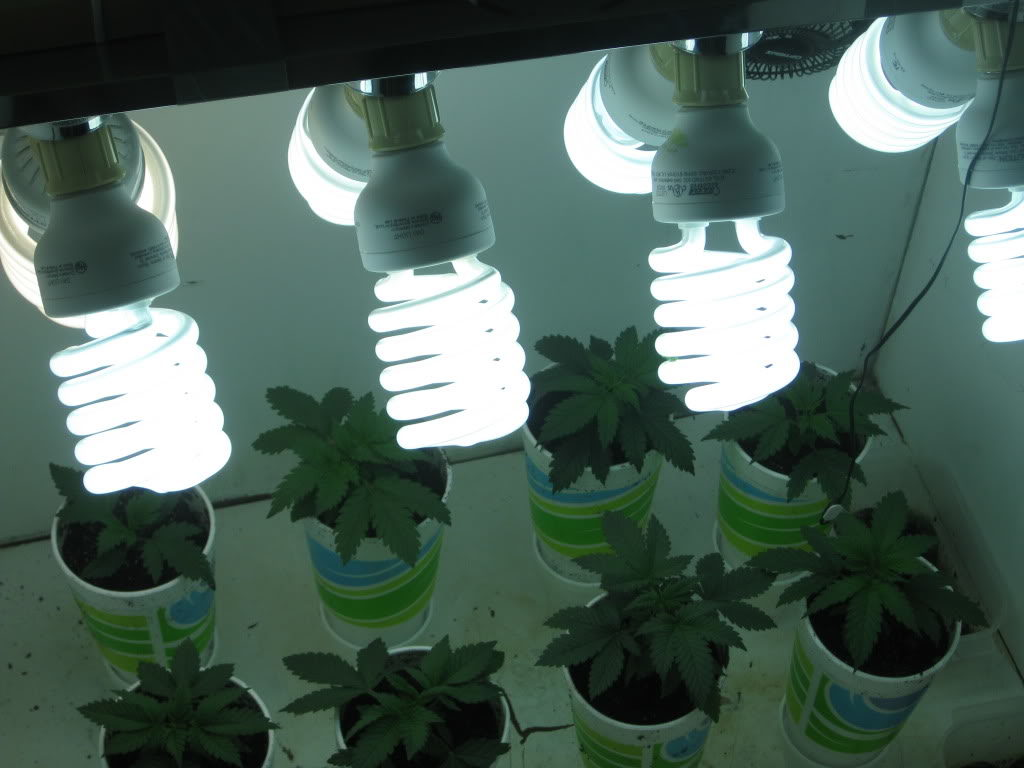 cfl lights for cannabis
