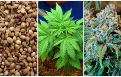 growing marijuana plant cycle